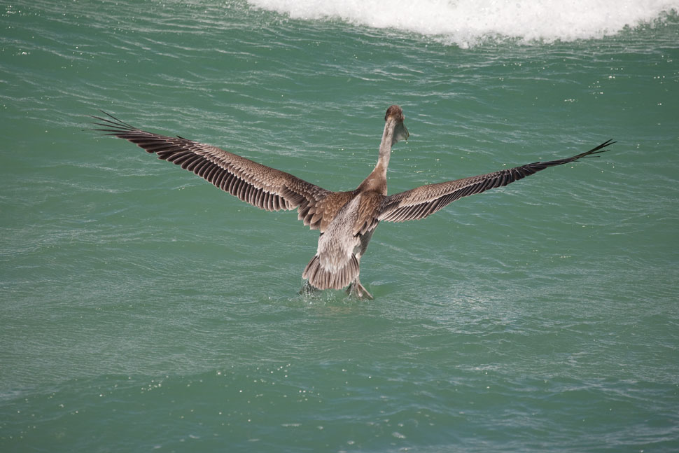 Brown_Pelican_09_2019